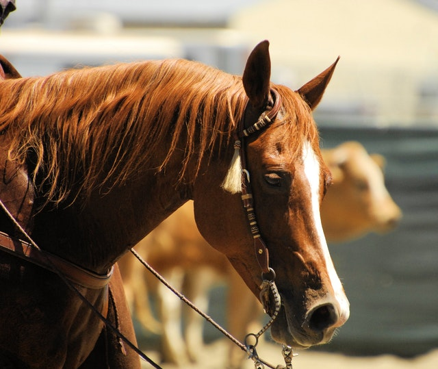 animal-brown-cavalry-closeup-632316
