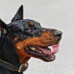 The Most Loyal Dog Breed: Doberman