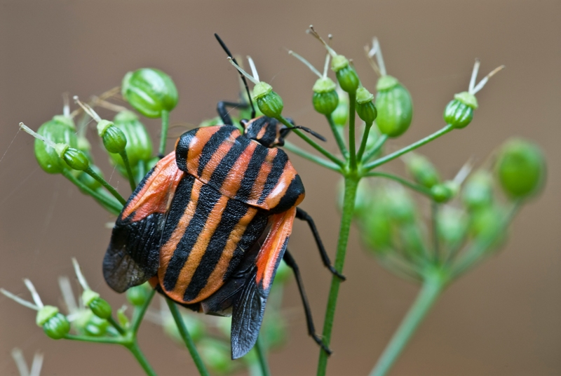 Red and Black Shield Bug