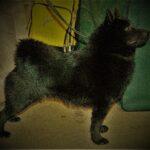 Are Schipperkes A Good Family Dog Breed